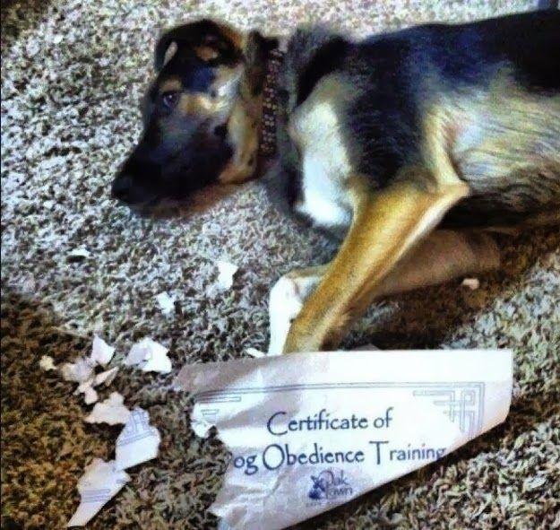 Comeu o Certificado de Treinamento de Obediência