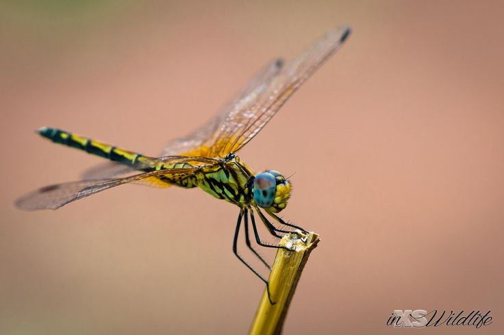 Dragon Fly ©inXSWildlife #inxswildlife #wildlifephotography #macrophotography #dragonfly #krugernationalpark