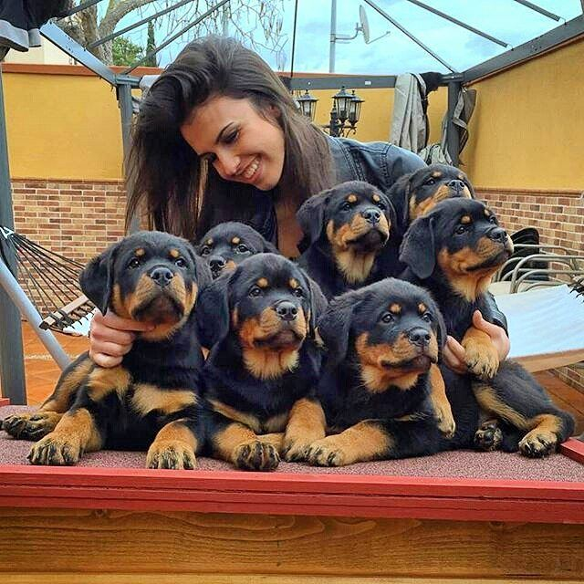 Check the link in @therottweilerworld profile and choose your Rottweiler or…