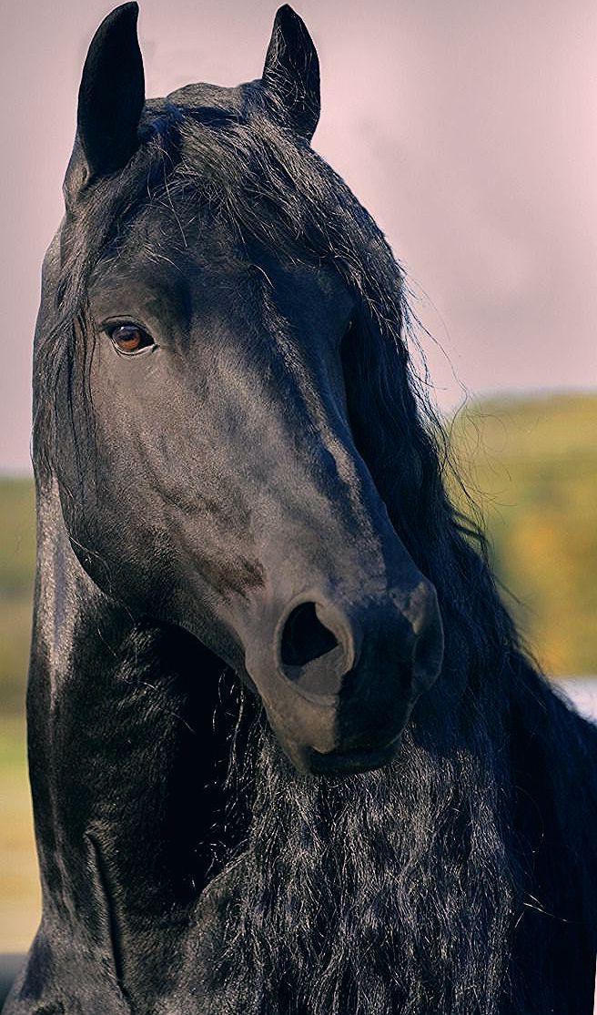 Cheval Frison Noir In 2020 Horses Animals Outlander