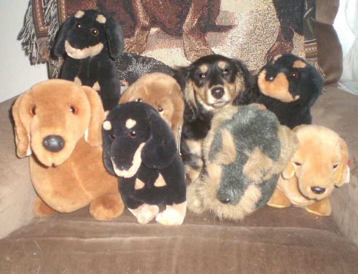 Where's Joanie? Dachshund, Miniature dachshunds, Animals