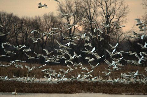 Tundra Swans, Metzger Marsh Wildlife Area, Lucas County, Ohio. December, 2014.