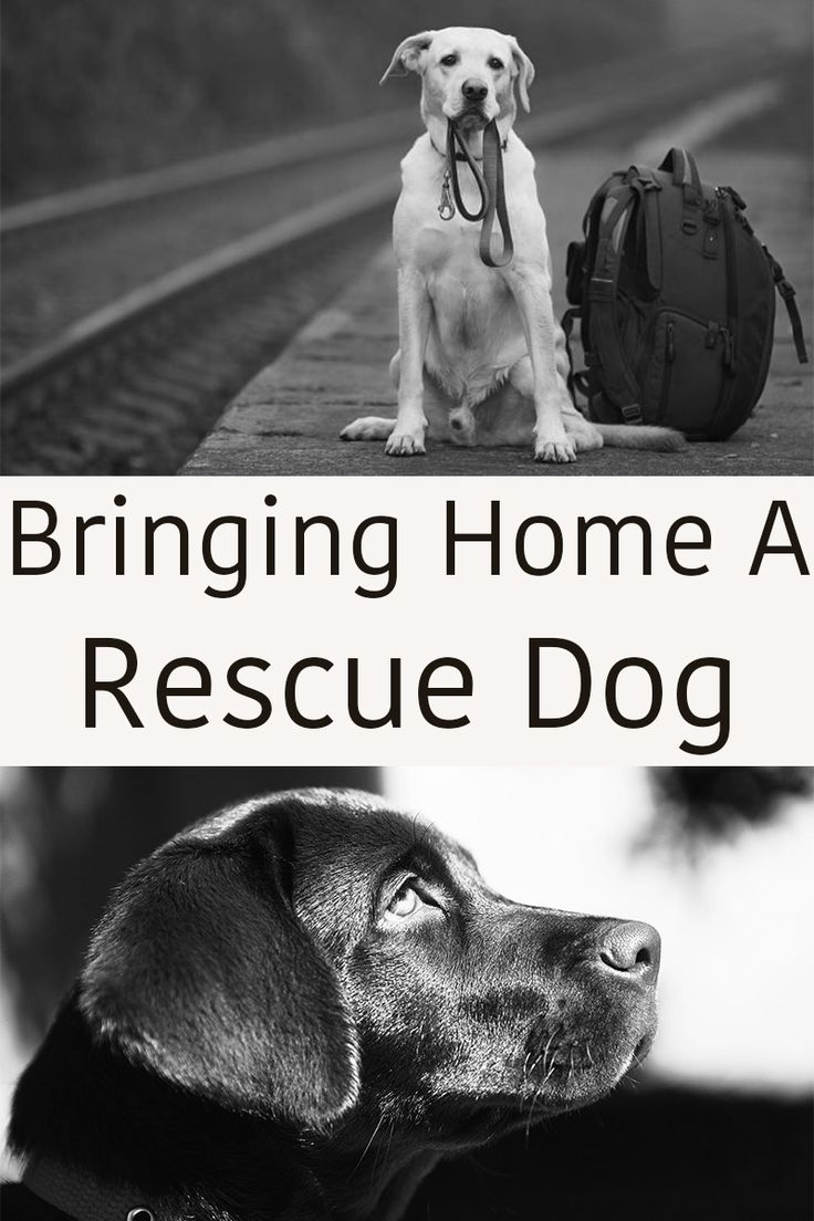 How to get your rescue dog off to a great start in his new life as a member of your family. A full guide to your rescue Lab with practical tips and help.