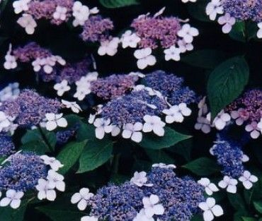 Hydrangea macrophylla 'Blue Wave' is een blauwbloeiende Hortensia en sterk groeiend. Behoort bij de teller-groep, dit houdt in dat deze hortensia met een platte bloeiwijze bloeit. Aanvullende informatie Standplaats / LichtbehoefteHalf Schaduw, Zon Bloeiperiodejuli, augustus, september Bloeikleurblauw GeurendNee Volwassen plantgrootte (cm)150 Aantal per m²3