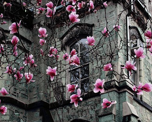 Dark but lovely: Photos, Pink Flowers, Travel Photo, Beautiful, Tulip Magnolias, Flowers Trees Magnolias, Places, Spring Blossoms, Paris France Photo