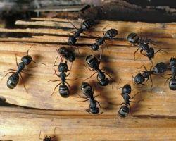 Rimedi naturali per combattere le formiche. Ottimo da usare anche il limone a fettine e collocato laddove le formiche hanno trovato un foro di ingresso.