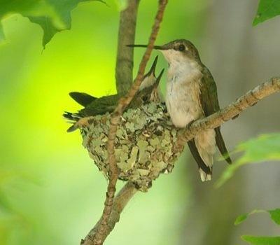Hummingbird and babies in nest