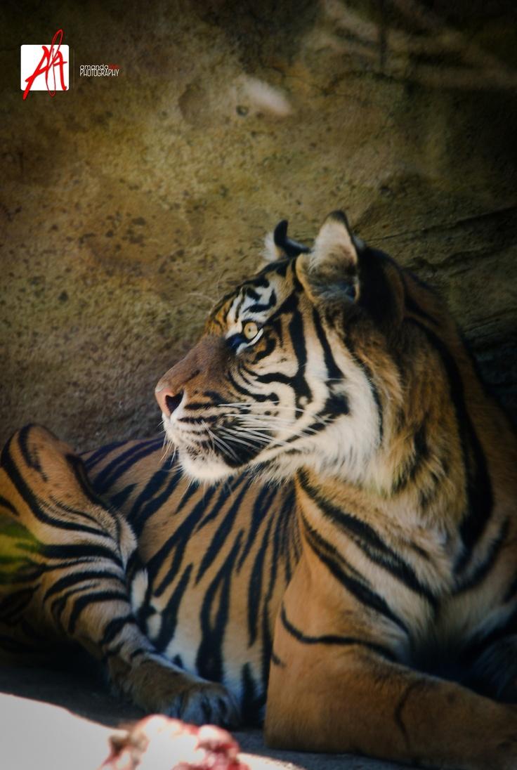 © Amandalee - ALAPhotography- Tiger - Adelaide Zoo ♥