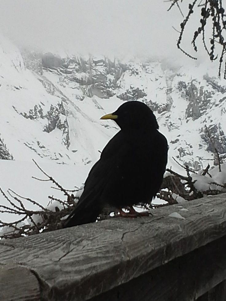 raven in #courmayeur