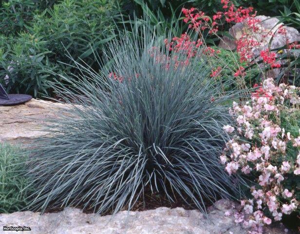 Blue oat grass helictotrichon sempervirens hgtv gardens for Perennial ornamental grasses