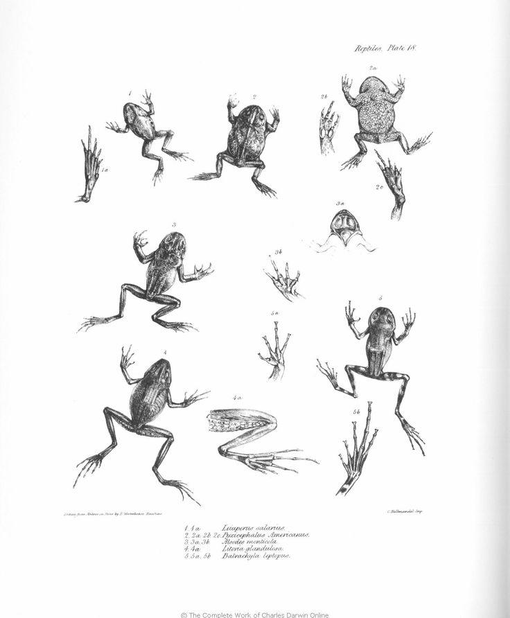 Frog Drawings Charles Darwin Frog Drawing Zoology