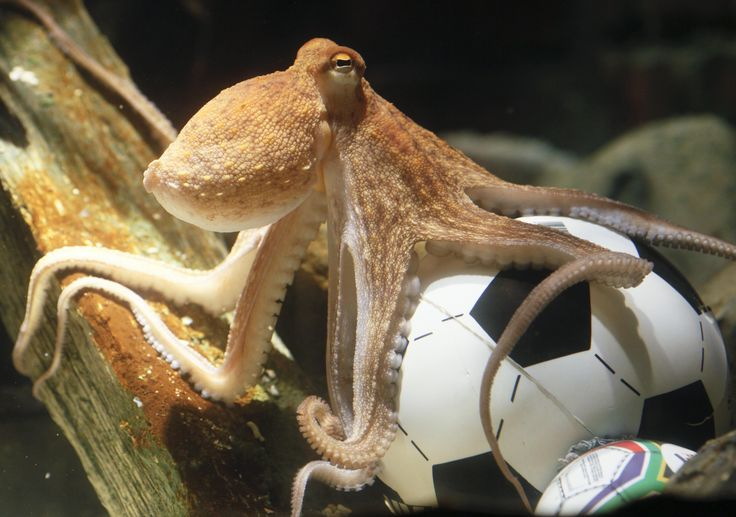 TIL in 2010 Paul the Octopus from a German aquarium in Oberhausen correctly predicted every single World Cup match outcome for the German National Team that year. He received death threats when he accurately foresaw their semi-final loss.