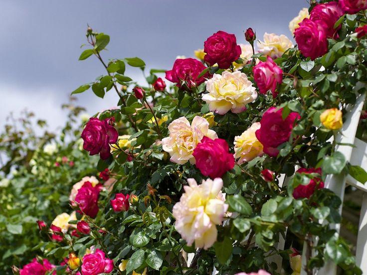 Pink Rose Garden Wallpaper 637 best blumen images on pinterest | flowers, vase and eat