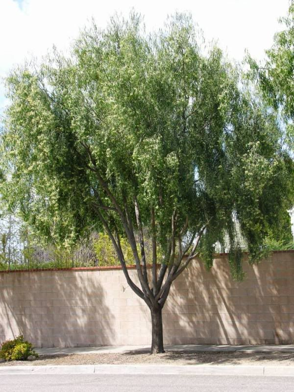 Agonis flexuosa photo this photo was uploaded by hoovb for Unusual small trees