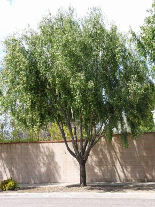 Agonis flexuosa   Xeriscaping   Pinterest   Trees, Photos