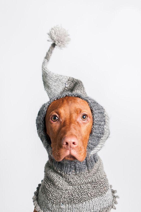 Vizsla pup wearing fun winter hat, photo by  J Catherine Photography
