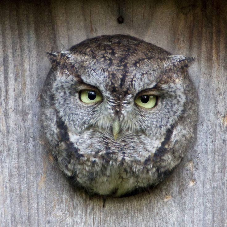 215 best owls images on pinterest animaux animais and animales. Black Bedroom Furniture Sets. Home Design Ideas