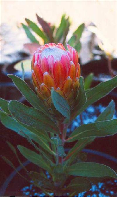 Protea 'Susara' • Australian Native Plants • Plants • 800.701.6517