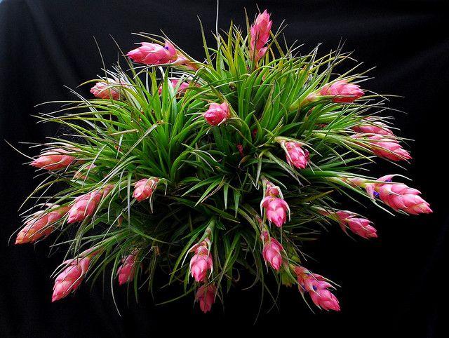 Tillandsia stricta Bromeliad