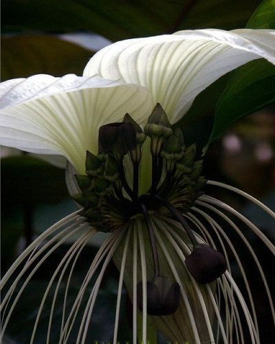 Tacca nivea - a rare white form of the Bat Plant