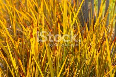 New Zealand Iris (Libertia peregrinans) Royalty Free Stock Photo
