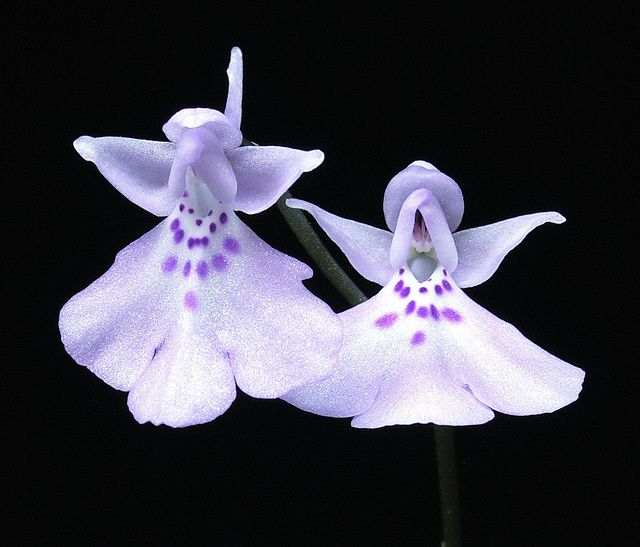Orchid-Mimicry: Amitostigma pinguiculum flowers Mimicking Fairy-Angels - Flickr - Photo Sharing!