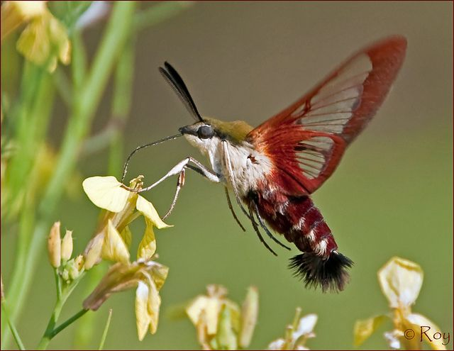 Hummingbird Clearwing by Roy Brown Photography, via Flickr