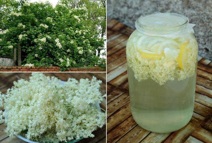 BAZOVÝ ŠUMIVÝ NÁPOJ V piatich litroch prevarenej vody rozpustíme pol kilogramu cukru, po vychladnutí nalejeme do veľkej sklenenej fľaše, pridáme päť odstopkovaných rozkvitnutých bazových kvetov, na kolieska nakrájaný citrón, uzatvoríme a odložíme na týždeň na slnečné miesto. Keď začne nápoj šumieť, scedíme ho do fliaš, odložíme do chladničky a do týždňa spotrebujeme.