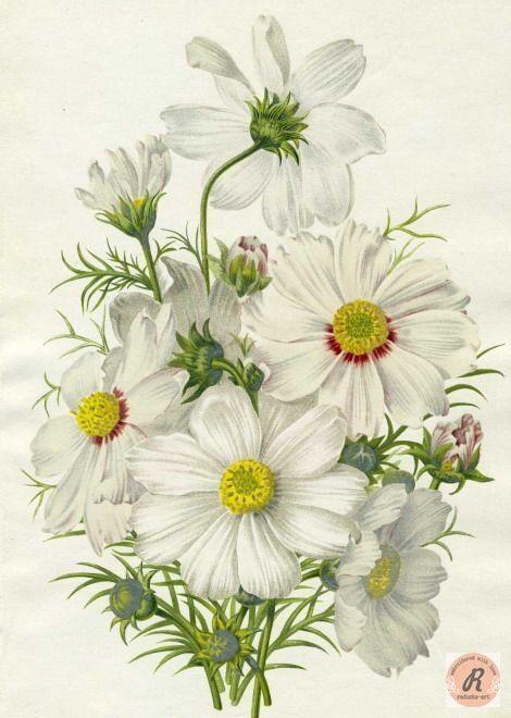 Daisy | Botanical