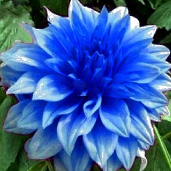 This Item Is Unavailable Flower Seeds Dahlia Flower Blue Dahlia
