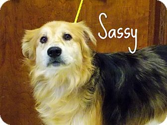 Defiance, OH - Australian Shepherd Mix. Meet Sassy, a dog for adoption. http://www.adoptapet.com/pet/17838885-defiance-ohio-australian-shepherd-mix