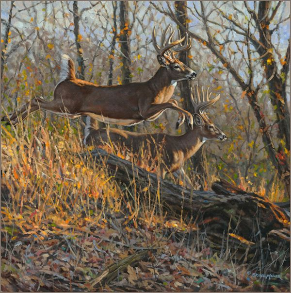Whitetail deer oil painting by wildlife artist Bruce Miller