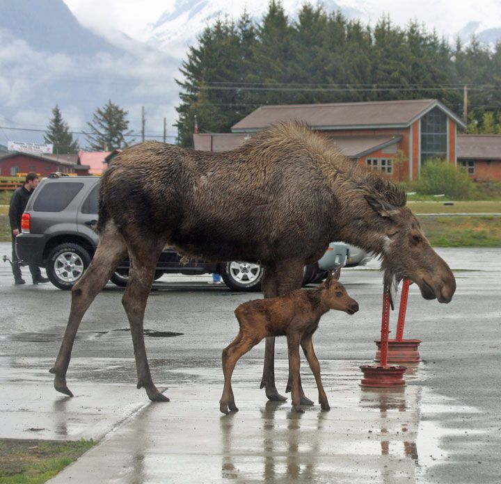"""A Cow Moose With Her Young Calf:   """"I Thought I'd Show 'Junior' The City of Haines!""""  (Alaska.)"""