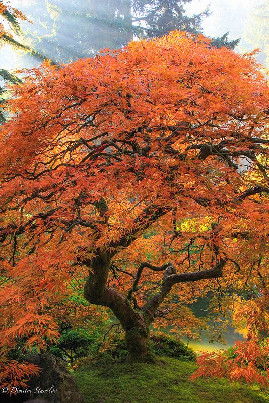 Japanese Garden. Red maple