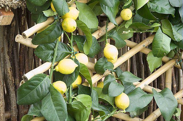 Pour bouturer le citronnier, arbre fruitier du verger, prélever des rameaux sains, supprimer feuilles et extrémité des boutures, les planter en terrine puis ...