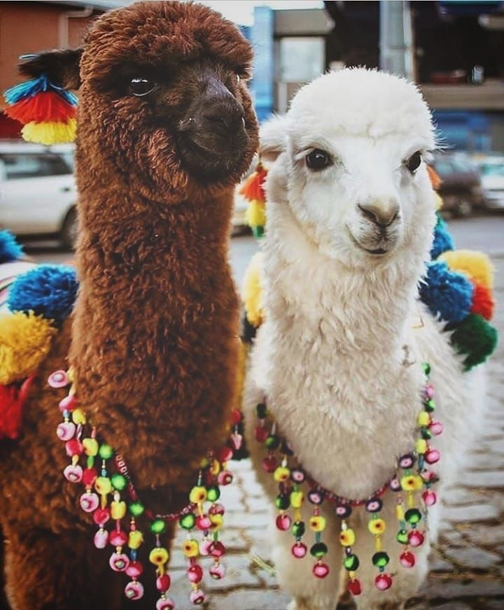 Peru Destinations On Instagram Beautiful Llamas In Cusco