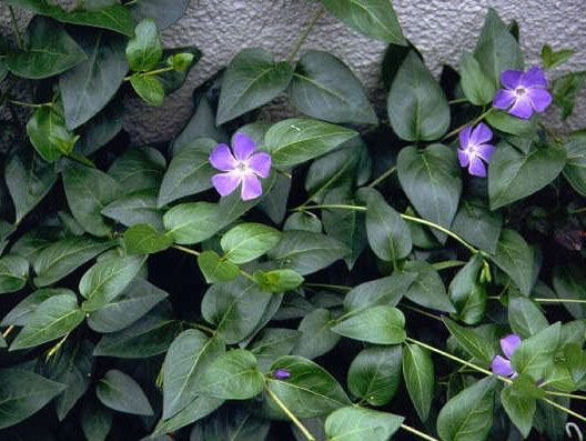 Best 10 Vinca Ground Cover Ideas On Pinterest Myrtle Plants And Covering