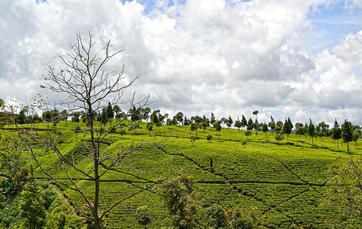 Tea Gardens - Rancabali