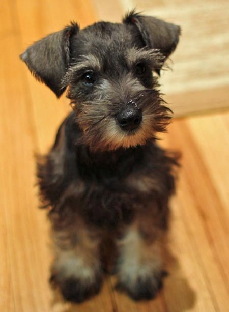 miniature schnauzer. from the Daily Puppy :)... I LOVE my mini schnauzer!!! He looked just like this little guy when he was a baby :)