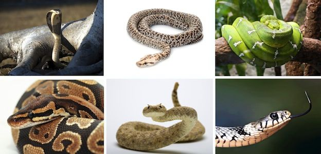 Especies de Serpiente - Serpientes, Información y Características