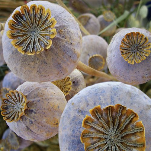 To control where the poppies reseed...cover pods as they start to dry with hose or cheese cloth to catch the seeds.  The seeds can be sowed for a new bed of poppies and used in cooking.  The dried pods are beautiful in arrangements.