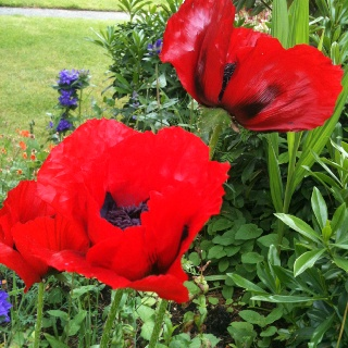 Too bad poppies don't last long !