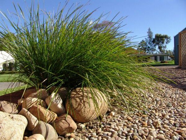 Lomandra Longifolia Tanika Mat Rush Gardening With Angus Plants For Shady Areas Australian Plants Lomandra