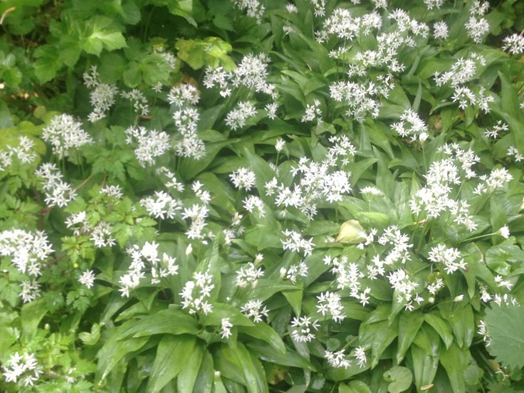 Wild garlic growing in our woodland area...very aromatic come summer time!