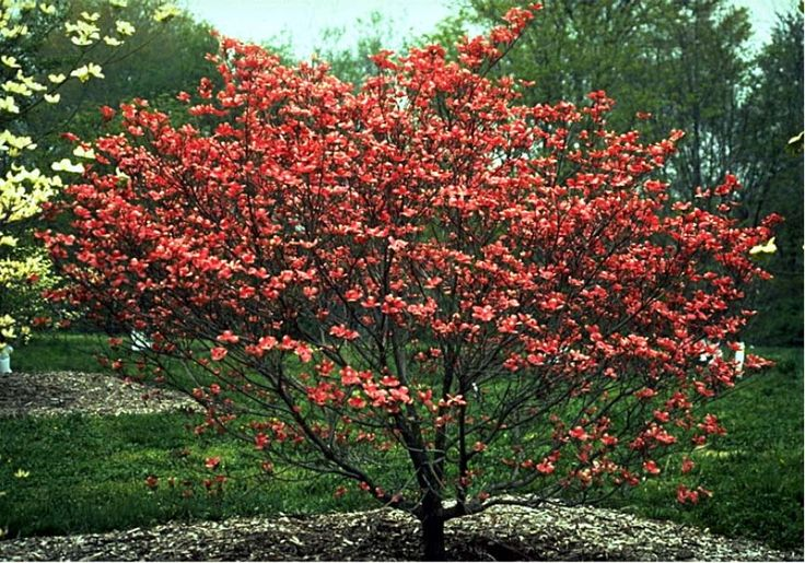 Dwarf ornamental trees displaying 18 gallery images for Small specimen trees