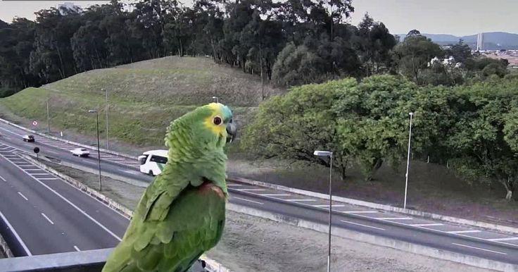 Papagaio é flagrado por câmera de trânsito na Rodovia dos Bandeirantes