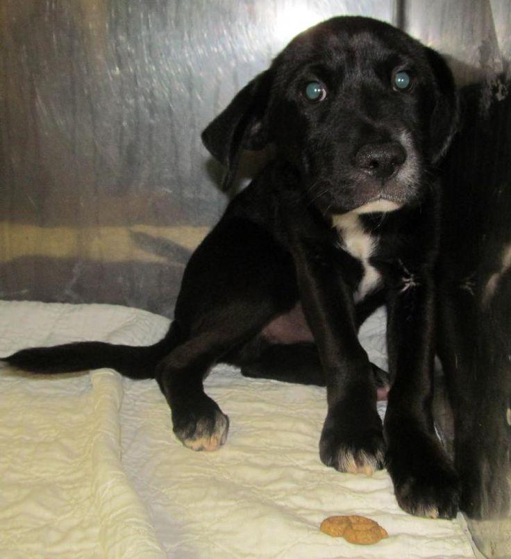 Adopt 68 Drew Adopted On Black Labrador Retriever Labrador Retriever Dog Retriever Dog