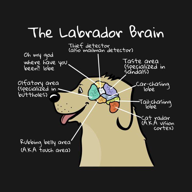 Check Out This Awesome Labrador Brain Anatomy Design Labrador