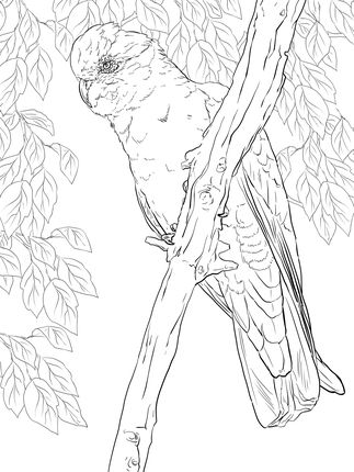 click to see printable version of rose breasted cockatoo or galah coloring page