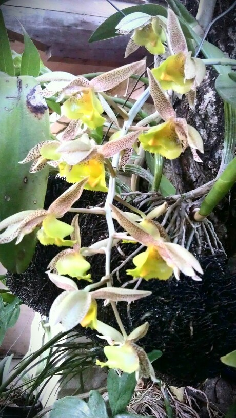 Tiger like orchids